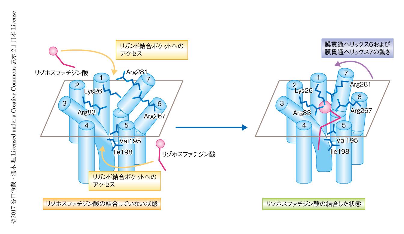 ゼブラフィッシュに由来するLPA6におけるリゾホスファチジン酸の認識機構のモデル